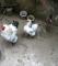 Brahma ve diğer süs tavukları