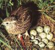 kırıkkalede satlık bıldırcın yumurtası