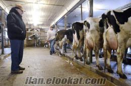 Akaylar Büyükbaş Besi Çifliği Holstein Buzalı Süt İnekleri Satılıktır