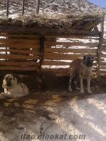 satılık kangal dişi köpek