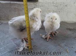 Satılık Ligth ve Buff Brahma Tavuk ve Ferikleri