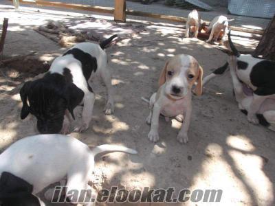 pointer av köpeği yavruları