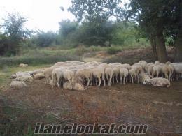 tekirdağ hayrobol tamazlık koyun ve kurbanlık kuzu
