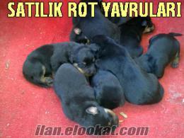 bursada satılık kangal rot yavruları