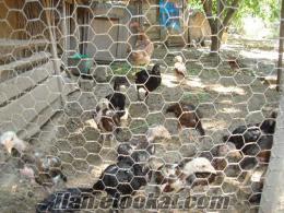 satılık dövüş horozları ve tavuk ve civcivleri