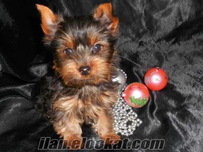 Sahibinden mini 0 numara yorkshire terrier yavru
