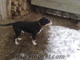 Kastamonudan Satılık Av Köpeği
