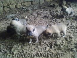 salihli de sahibinden satılık kangal köpek yavruları