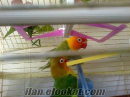 cennet papaganı satılık veya takaslı goldenfınc kusu ıle