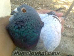 manisada sahibinden satılık posta güvercinleri satılıktırkümesim