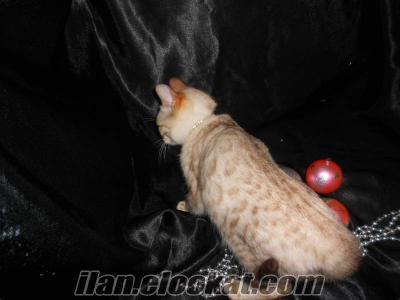 Bembeyaz mavi gözlü bengal kedi yavru erkek leopar desenl