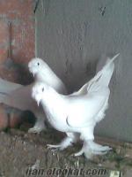 çanakkalede sahibinden satılık şebap beyaz
