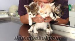 Ücretsiz Yavru Sokak Kedilere Yuva Aranıyor