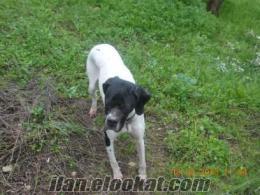 Sahibinden satılık 18 aylık safkan İngiliz Pointer cinsi kuş köpeği