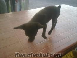 Satılık Mini Pinscher Cinsi Köpek.Bu Fiyata Biraz Zor..