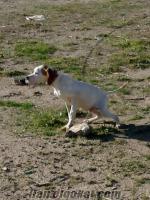 kırıkkalede sahibinden satılık pointer av köpeği