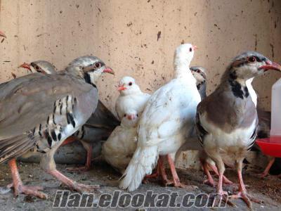 Satılık Beyaz ve Kınalı keklik