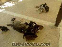 ALANYADA sahibinden satılık husky sibirya kurdu yavruları