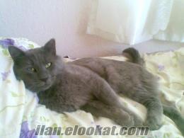 satılık erkek van kedisi