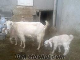 osmaniyede sahibinden satılık süt keçisi saanen
