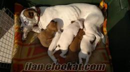izmir urlada satılık yavru boxer köpekler