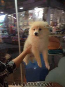 Muhteşem Pomeranian yavru