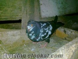 edirnede satılık güvercin