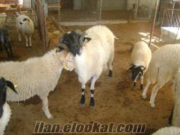 urlada üreticiden satılık sakız koyunu