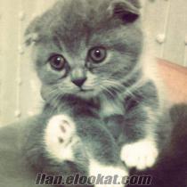 british ve scotish kedi yavruları acil satılık