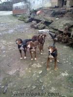 satılık av köpekleri avköpekleri