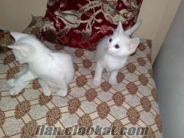 2 aylık erkek Van kedisi