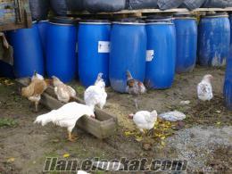 boluda satılık tavuk civciv ve yumurta