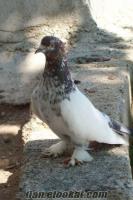 satılık van güvercini