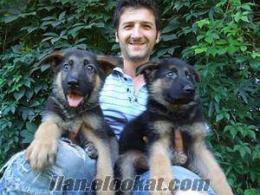 Bursadan alman kurt köpekleri