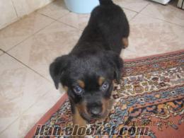 istanbulda sahibinden satılık yavru rodvaydır köpeği