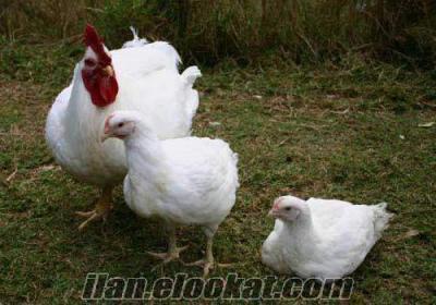 anaç tavuk