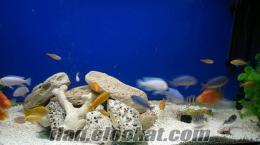 Satılık Ciklet Balıkları İstanbulda(Cichlid)