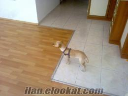 Fino Cinsi 9 aylık dişi köpek