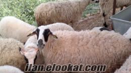 Davutlarda koyun kuzu