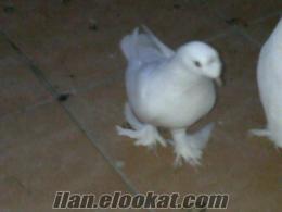 şebab beyaz güvercinlker