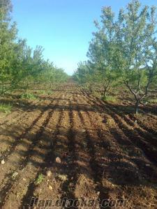 akhisarda 150 dönüm ceviz ve badem bahçesi