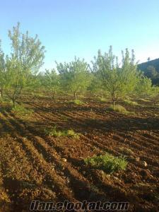 150 dönüm badem ve ceviz bahçesi