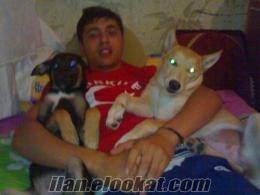 ucuz yollu satılık köpekler