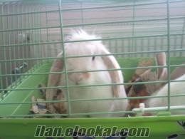 Satılık Damızlık Erkek Hollanda Lop Tavşanı