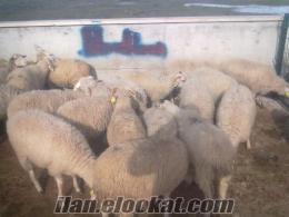 Sakarya Akyazıda satılık kuzu