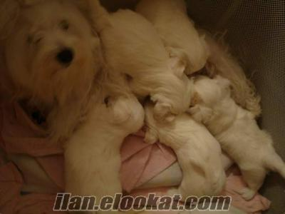karbeyaz sıfır numara maltes terrier yavrulari