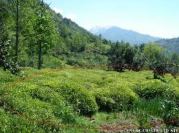 arhavi artvinde satılık çaylık arazi