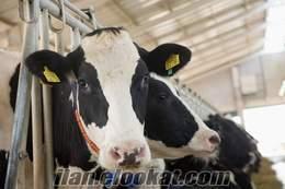 satılık inekler, düve, dana, holsten,