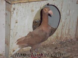 satılık bagdadi güvercin hatayda