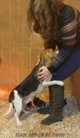 elizabet beagle harikaaaaa_____satılık yavrularımm